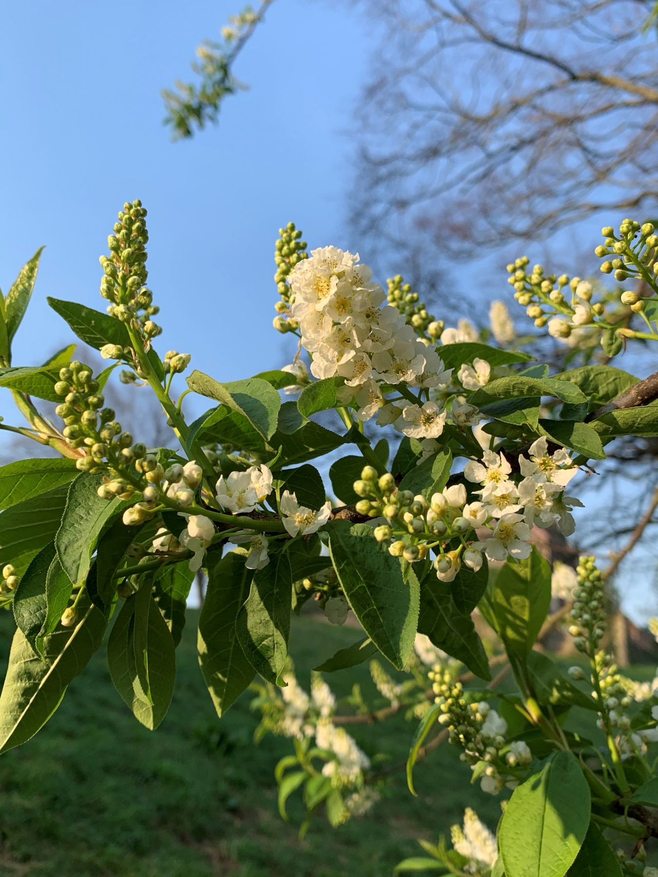 Bristol blossom