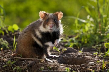 European hamster (Cricetus cricetus) at burrow, France. Controlled conditions