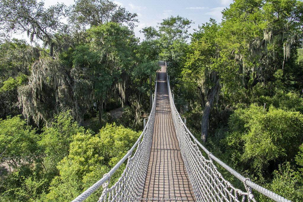 Rope bridge through tree tops draped with Spanish moss (Tillandsia usneoides). Santa Ana National Wildlife Refuge, near Alamo, Hidalgo County, Texas, USA. July 2019.