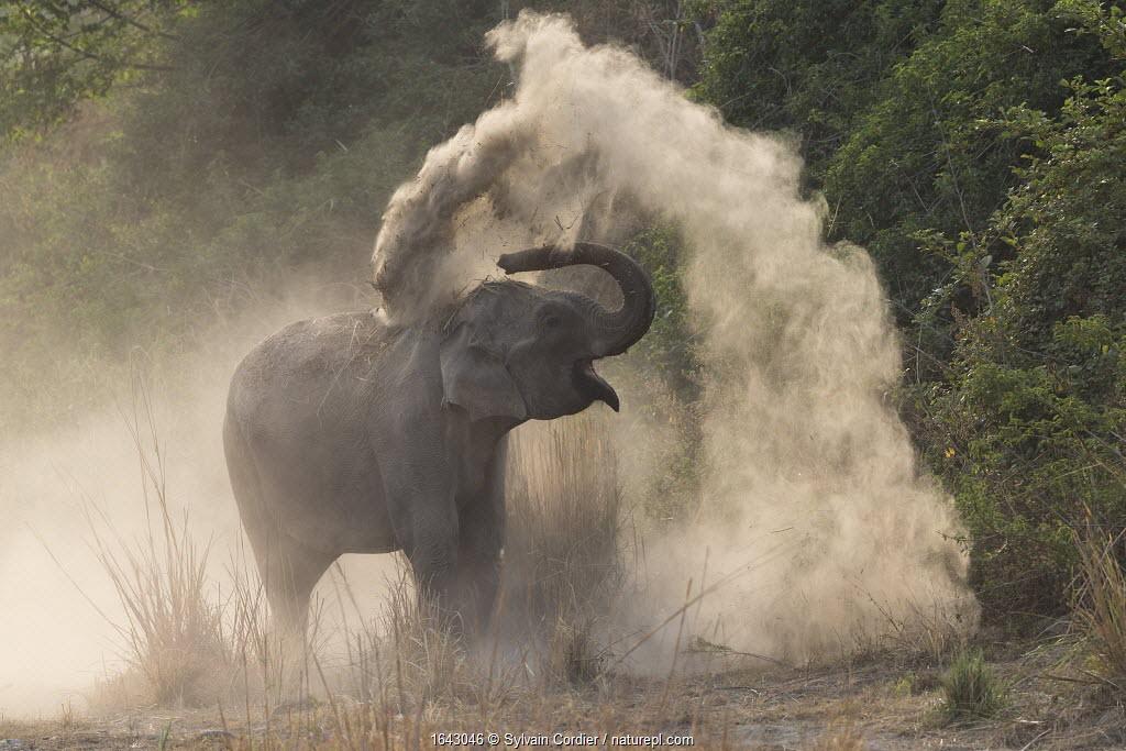 RF-Asian elephant (Elephas maximus) dust bathing. Jim Corbett National Park, Uttarakhand, India.