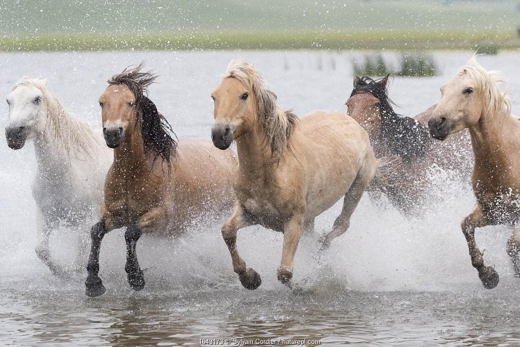 RF-Herd of horses running through water. Bashang Grassland, near Zhangjiakou, Hebei Province, Inner Mongolia, China.