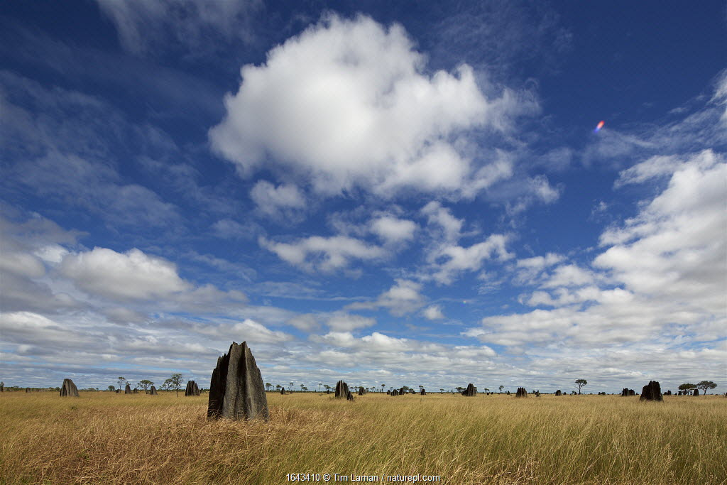 Termite Mounds on the Nifold Plain Cape York Peninsula, Queensland, Australia. June 2012