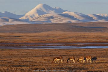 Kiang (Equus kiang) herd grazing on steppe in evening light, mountains in background. Hoh Xil Nature Reserve, Tibetan plateau, Qinghai, China. October 2019.