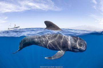Short-finned pilot whale (Globicephala macrorhynchus) dorsal fin surfacing. South Tenerife, Canary Islands, Atlantic Ocean