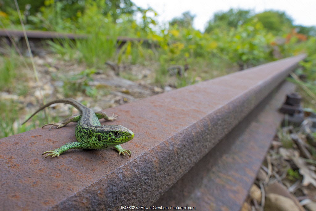 Sand lizard (Lacerta agilis) male on disused railway, wide angle view, the Netherlands.