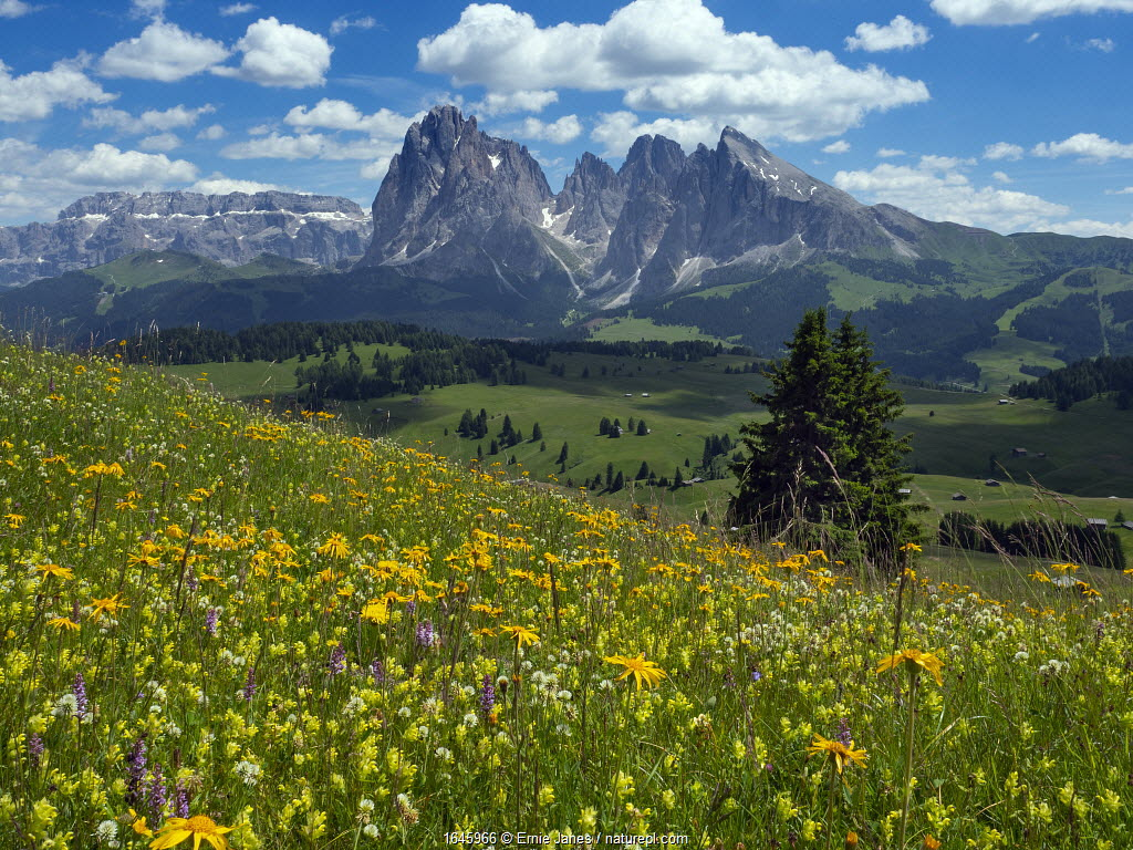 Alpine flower meadow landscape - Seiser Alm with mountains of Langkofel Group in the background. Dolomoites, South Tyrol, Italy. July 2019.