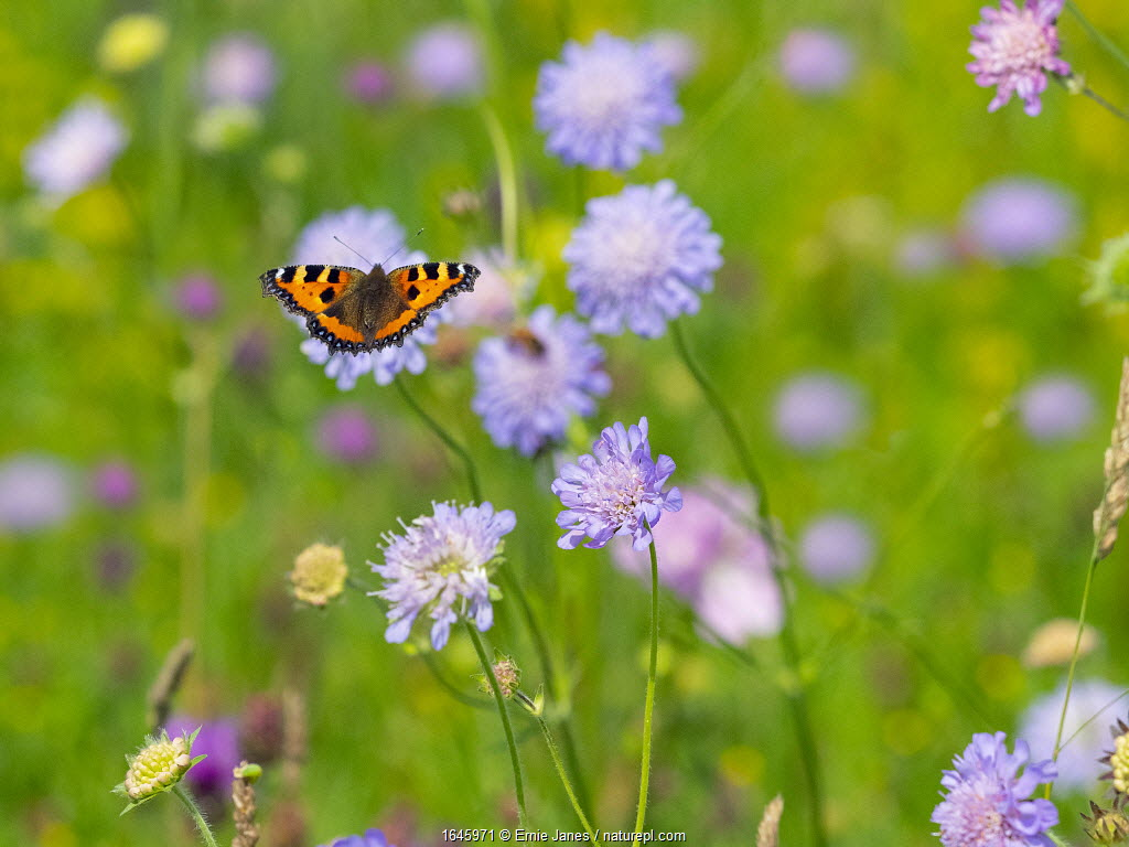 Small Tortoiseshell Butterfly (Aglais urticae) feeding on scabious flowers in hay meadow, Wensum Valley, Norfolk, England, UK, July.
