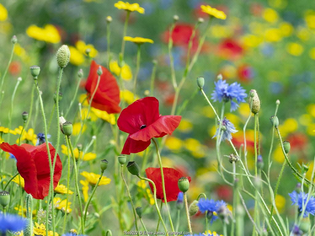 RF - Corn Marigold (Glebionis segetum), with Cornflower (Centaurea cyanus) and Poppy (Papaver rhoeas) in hay meadow.