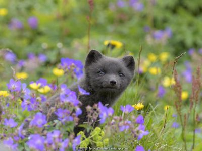 RF - Arctic fox cub (Alopex lagopus) amongst summer flowers, Hornvik, Westfjords, Iceland. July