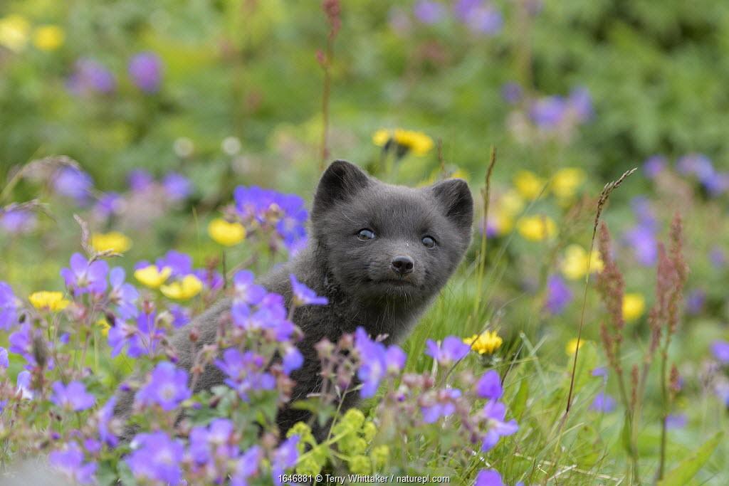 RF - Arctic fox cub (Alopex lagopus) amongst summer flowers, Hornvik, Westfjords, Iceland. July