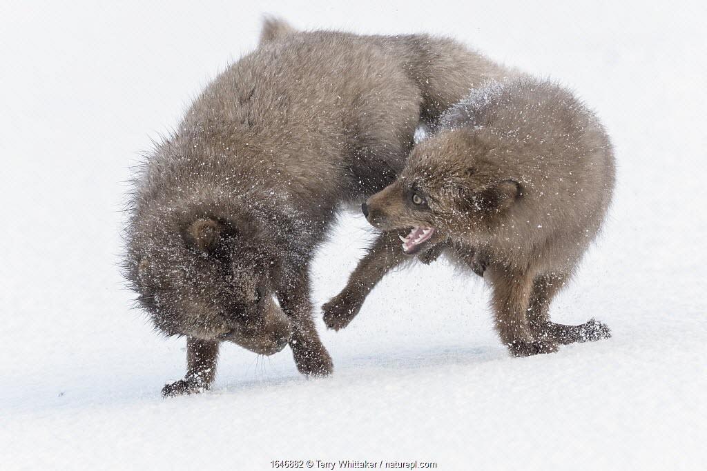 RF - Arctic foxes (Alopex lagopus) blue colour morphs in winter coat fighting, Hornstrandir, Iceland, March