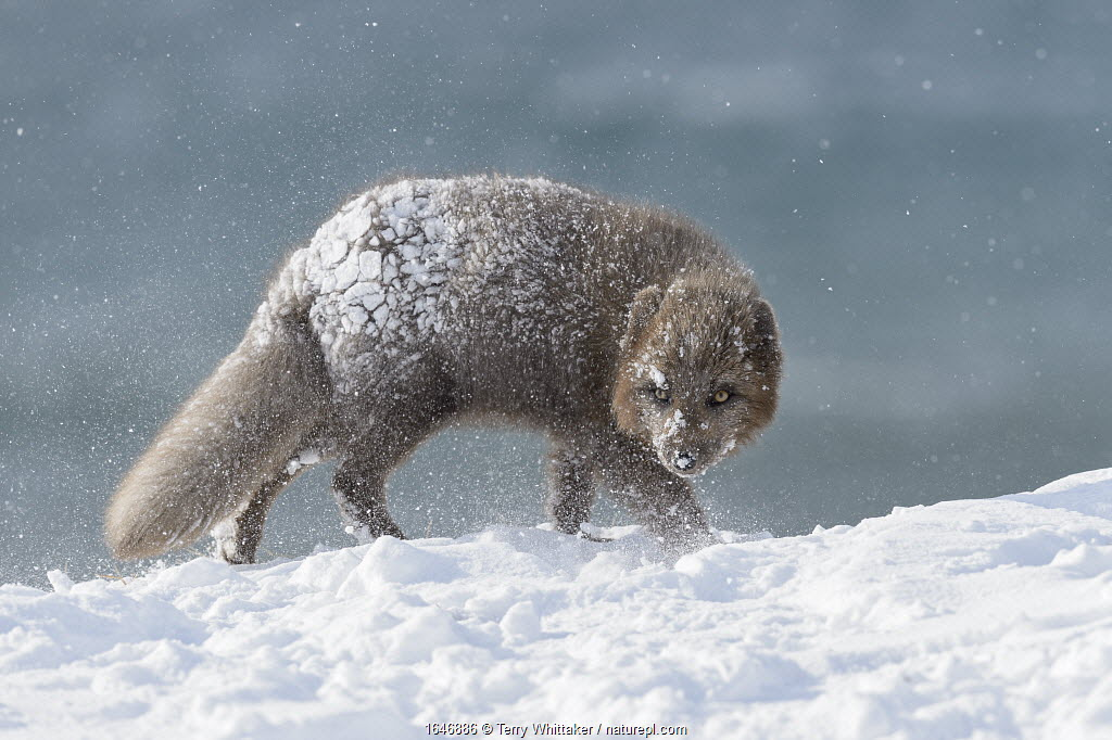RF - Arctic fox (Alopex lagopus). Hornstrandir, Iceland. Blue colour morph in winter coat. March