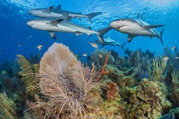 A shiver of Caribbean reef sharks (Carcharhinus perezi) swim over a coral reef with Common sea fans (Gorgonia ventalina) and sea plumes (Pseudopterogorgia sp). Jardines de la Reina, Gardens of the Queen National Park, Cuba. Caribbean Sea.