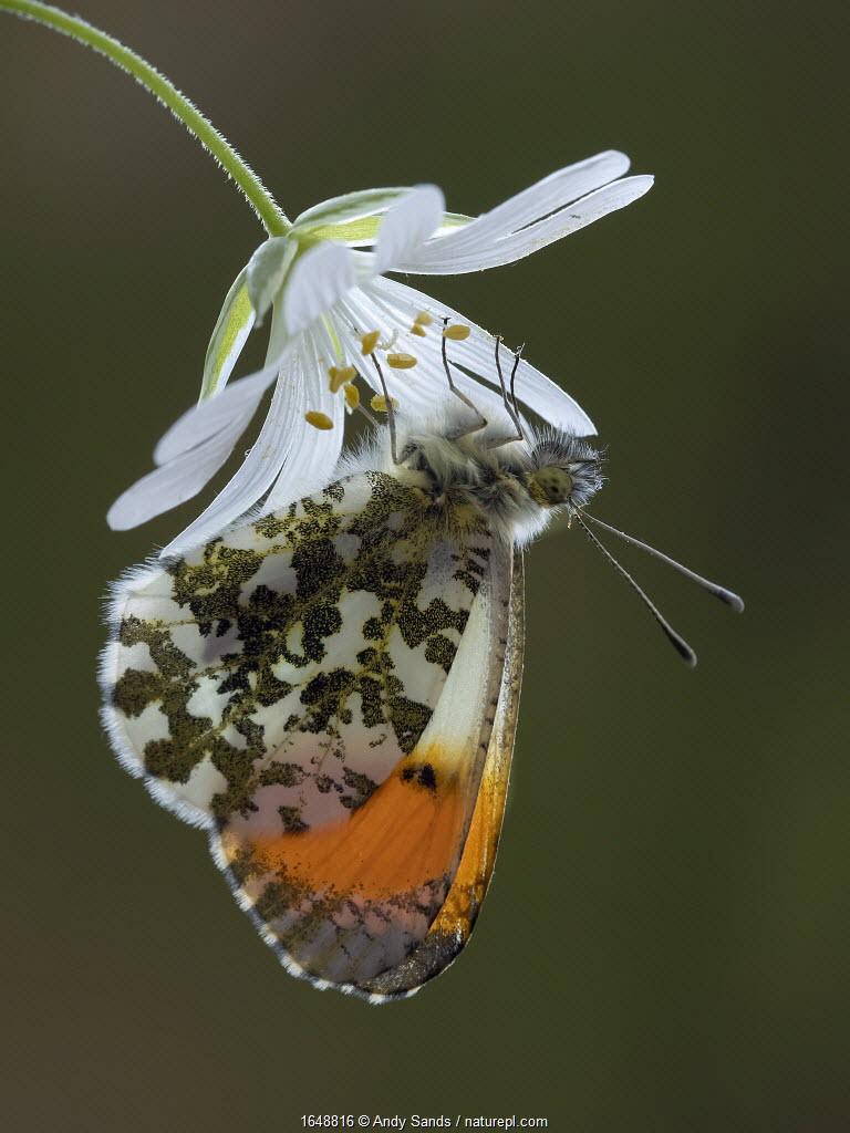 Orange tip butterfly (Anthocharis cardamines) male on Greater stitchwort flower in English woodland, Hertfordshire, England, UK, April.