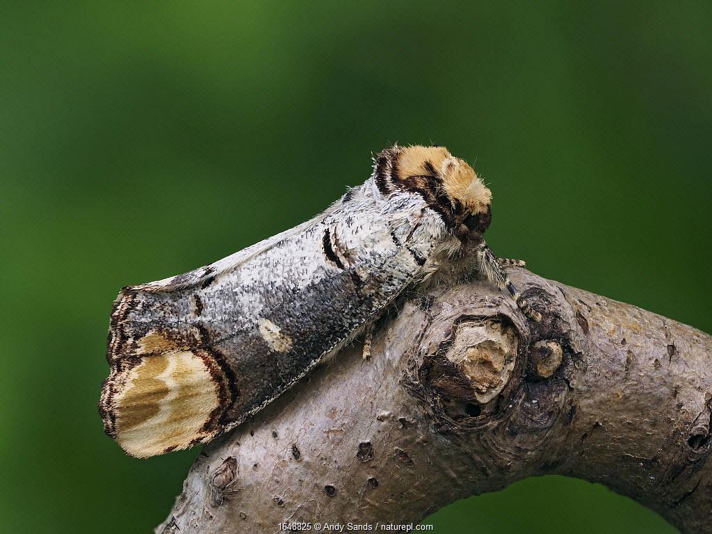 Buff-tip moth (Phalera bucephala) showing camouflage on Oak twig, Hertfordshire, England, Uk, April - Focus Stacked