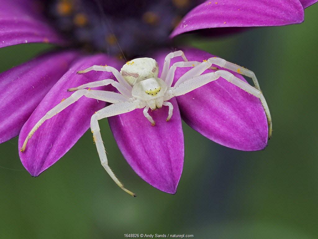 Crab spider (Misumena vatia) sitting on a garden flower, Hertfordshire, England, UK, April - Focus Stacked