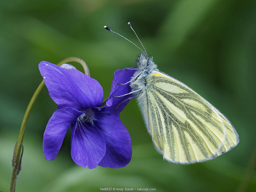 Green veined white butterfly (Pieris napi) roosting on a Dog Violet flower, Hertofrdshire, England, UK, April - Focus Stacked