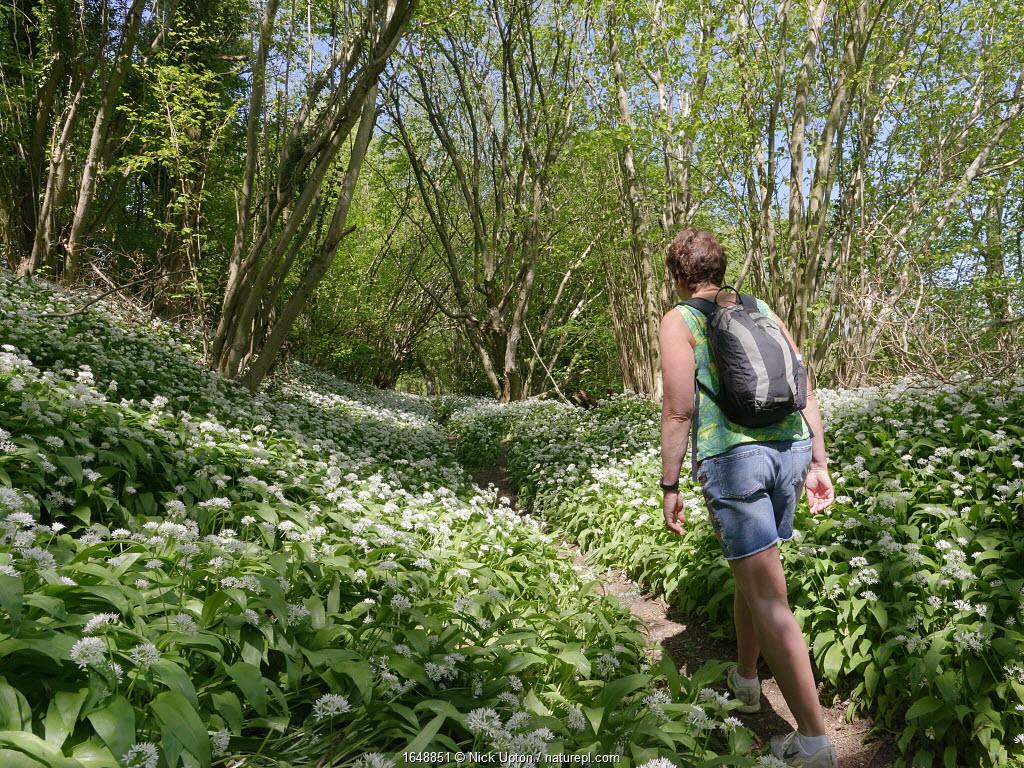 Woman walking along a footpath through woodland carpeted with Wild garlic / Ramsons (Allium ursinum) during the Coronavirus lockdown period, Wiltshire, UK, April 2020. Model released.