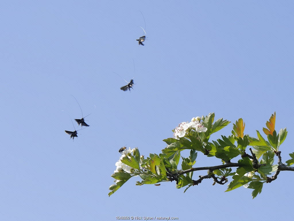 Green fairy longhorn moths (Adela / Adela reaumurella) in a group courtship display flight above a Hawthorn tree (Crateagus monogyna), Wiltshire, UK, April.
