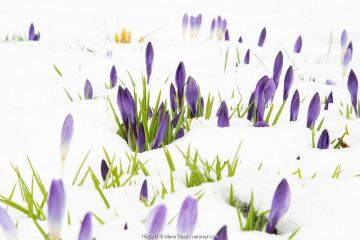 Crocuses flowering in snow, late March 2020, New York State, USA.
