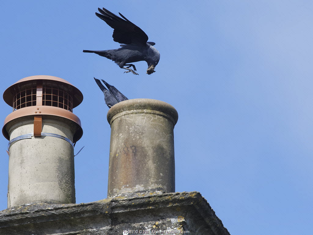 Jackdaw (Corvus monedula) pair bringing small sticks and leaves for lining their nest in a chimney with, Wiltshire, UK, March.