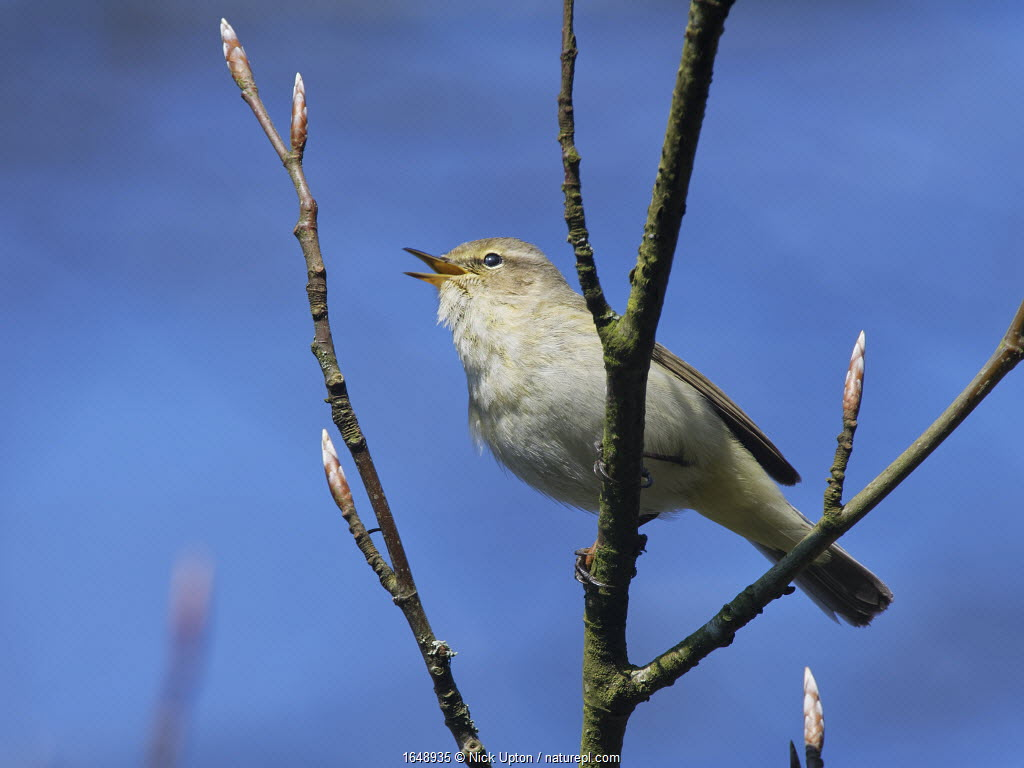 Chiffchaff (Phylloscopus collybita) perched in a Beech tree (Fagus sylvatica) with unopened leaf buds in a garden, Wiltshire, UK, March.