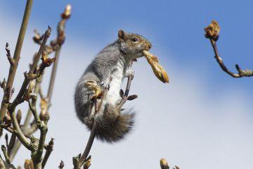 Grey squirrel (Sciurus carolinensis) feeding on new leaves in a Horse chestnut (Aesculus hippocastanum) tree, Wiltshire, UK, March.