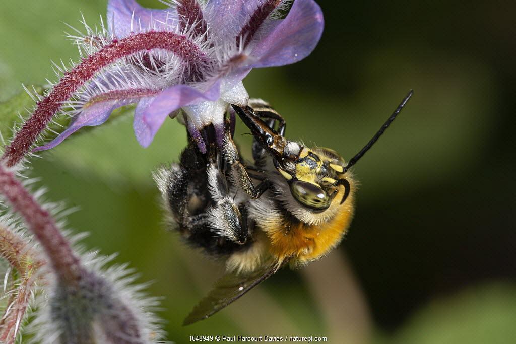 Tree Bumble bee (Bombus hypnorum) nectar gathering from a Borage flower. Podere Montecucco, Umbria, Italy.