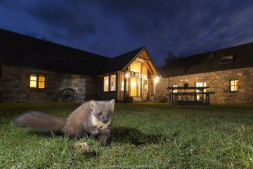 Pine marten (Martes martes) in garden in front of building at night, CairngormsNational Park, Scotland.