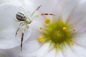 Flower crab spider (Misumena vatia) male on Saxifraga flower, Bristol, UK. April.