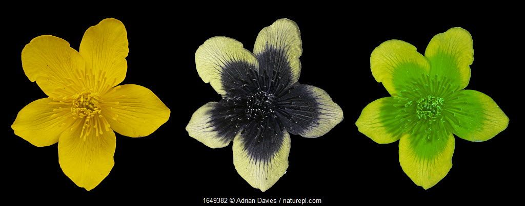 Marsh marigold (Caltha palustris) flower, showing - visible, UV and 'bee vision' Surrey, England, UK, March.