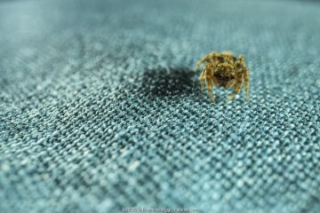 Jumping spider (Salticidae) on fabric in apartment, Genova, Italy, March.