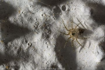 Wall spider (Oecobius sp.) on a house wall, Genova, Italy. March.