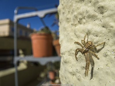 Crab spider (Xysticus sp.) on balcony, Genova, Italy, May.