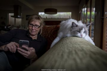 Portrait of female rag doll cat , Chloe, relaxing on a couch whilst her owner, checks her phone. Brighton, Victoria, Australia. April 2020. Model released.