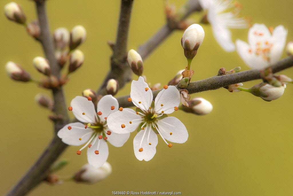 Blackthorn blossom (Prunus spinosa), Cornwall, UK. April.