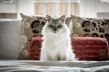 Portrait of domestic ragdoll cat , male 'Shiloh' age 13 on a bed. Brighton, Victoria, Australia.