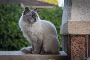Portrait of domestic ragdoll cat , male 'Shiloh' age 13 on a verandah, lookinhg out. Brighton, Victoria, Australia. March.