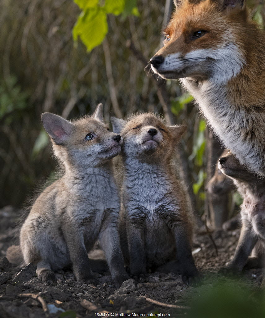 Red fox (Vulpes vulpes) vixen, with cubs looking up expectantly near den on urban allotment, North London, England. April 2020.