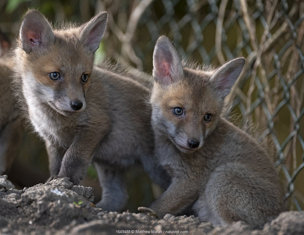 Red fox (Vulpes vulpes) cubs outside the entrance to the den on allotment, North London, England. April 2020.