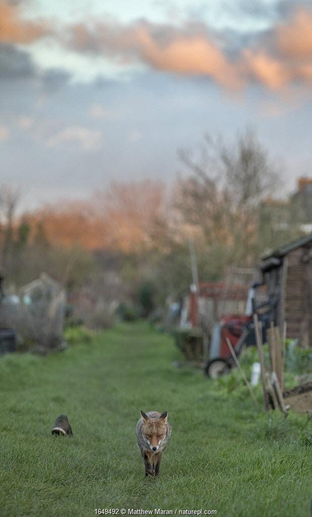Red fox (Vulpes vulpes) trotting through a deserted allotment North London, England, during coronavirus lockdown, March 2020.