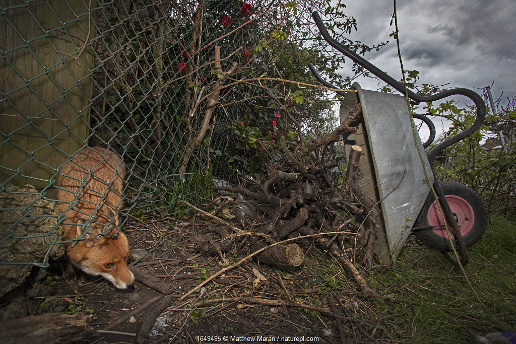 Red fox (Vulpes vulpes) squeezes under a fence into allotment while patrolling its territory, North London, England during coronavirus lockdown, April 2020.