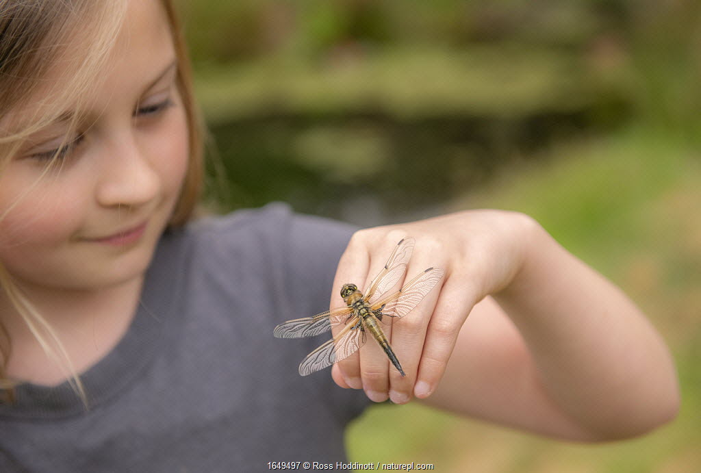 11-year old girl with a newly emerged four-spotted chaser dragionfly (Libellula quadrimaculata) on her hand, Cornwall, UK. April.