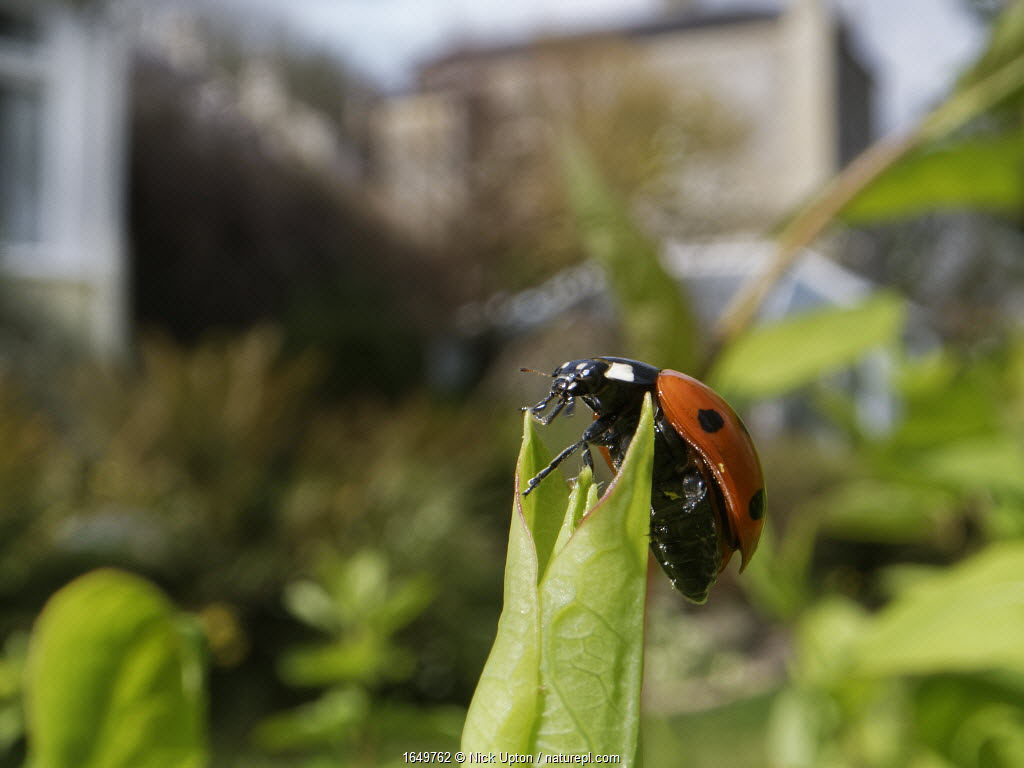 Seven-spot ladybird (Coccinnella septempunctata) just emerged from hibernation, sunning on a Honeysuckle leaf with buildings in the background, Wiltshire garden, UK, April.