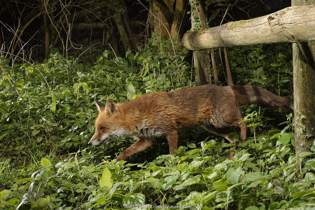 Red fox (Vulpes vulpes) using a trail under a fence separating a garden from surrounding woodland and meadows at night, Wiltshire, UK, April.