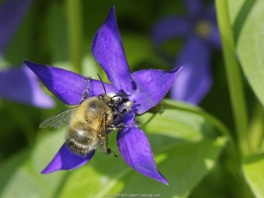 Hairy-footed flower bee (Anthophora plumipes) male nectaring on a Greater periwinkle (Vinca major) flower, Wiltshire garden, UK, April.