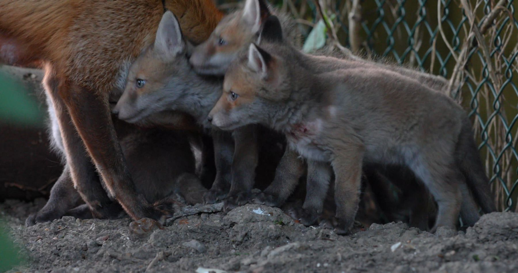Close up of a Red fox vixen (Vulpes vulpes) grooming her five cubs at den entrance in an allotment, cubs begin to suckle, London, England, UK, April.