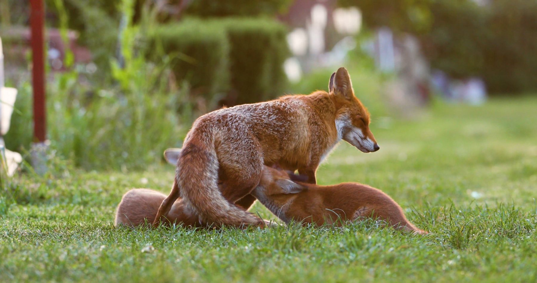 Red fox vixen (Vulpes vulpes) with two suckling cubs in an allotment, London, England, UK, May.