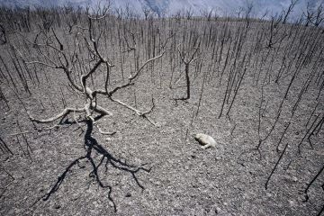 Galapagos Land Iguana (Conolophus subcristatus) carcass and scorched vegetation from volcanic eruption, Caldera Rim, Fernandina Island, Galapagos Islands, Ecuador