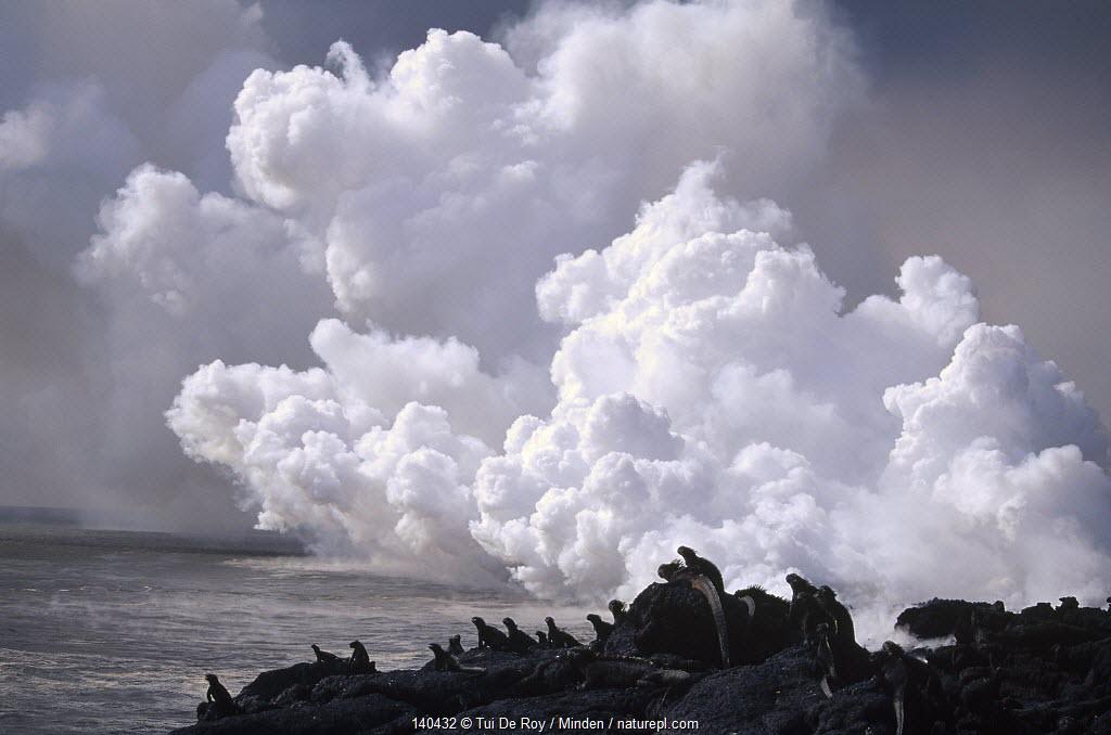 Marine Iguana (Amblyrhynchus cristatus) group with steam from lava flow entering the sea, Cape Hammond, Fernandina Island, Galapagos Islands, Ecuador